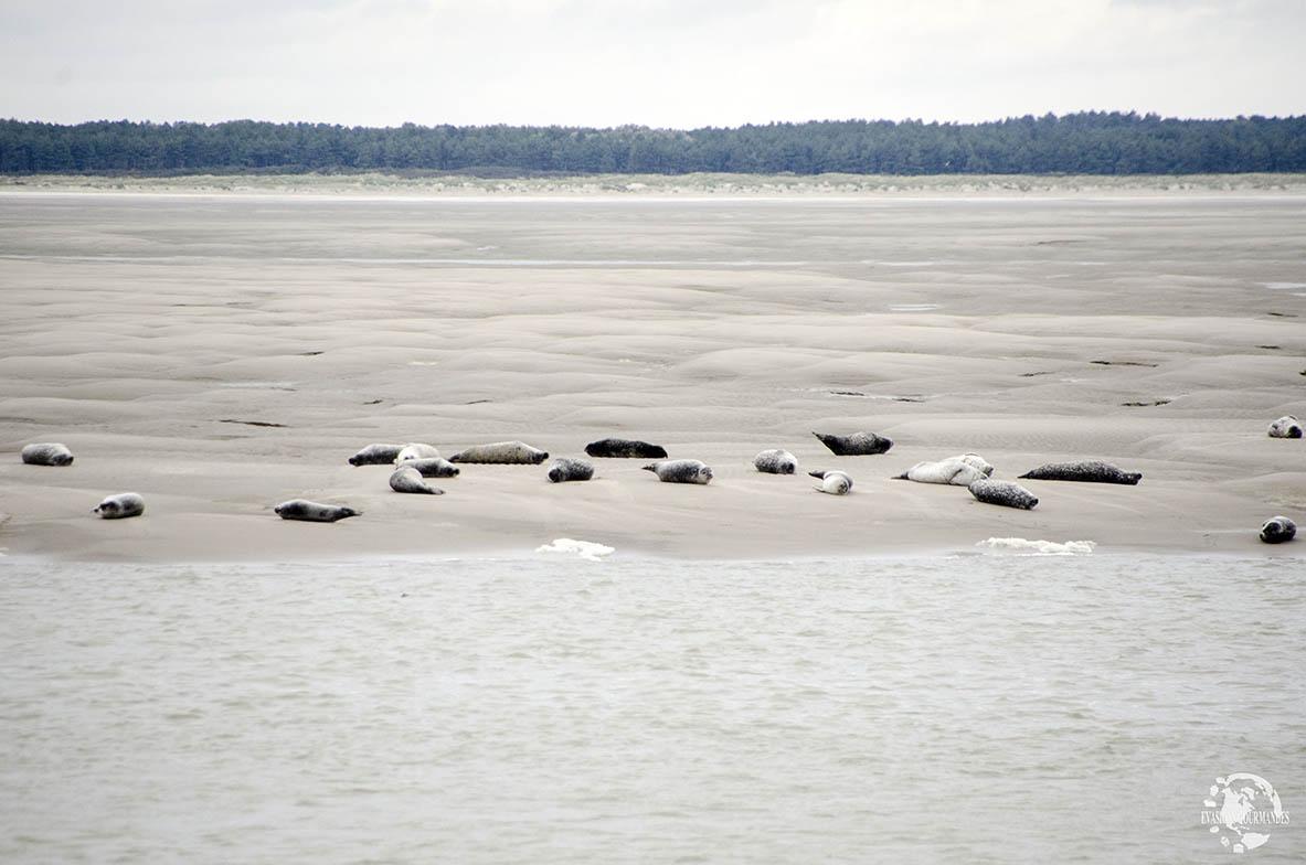 Phoques Baie de Somme