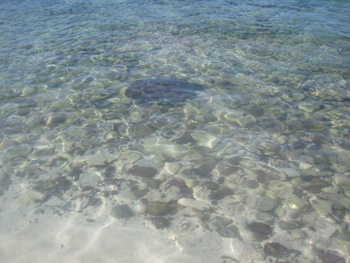 Raies îles Grenadines