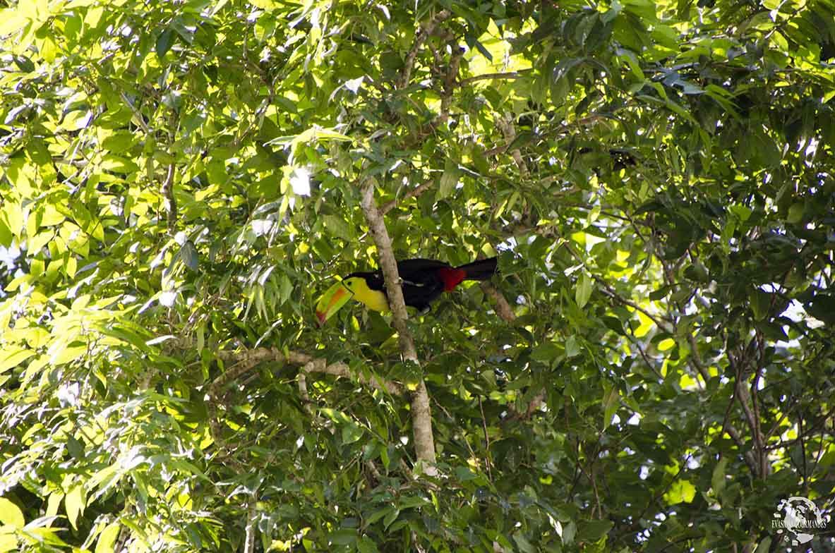 Toucan Calakmul