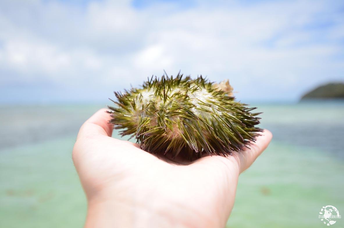 Oursin Martinique