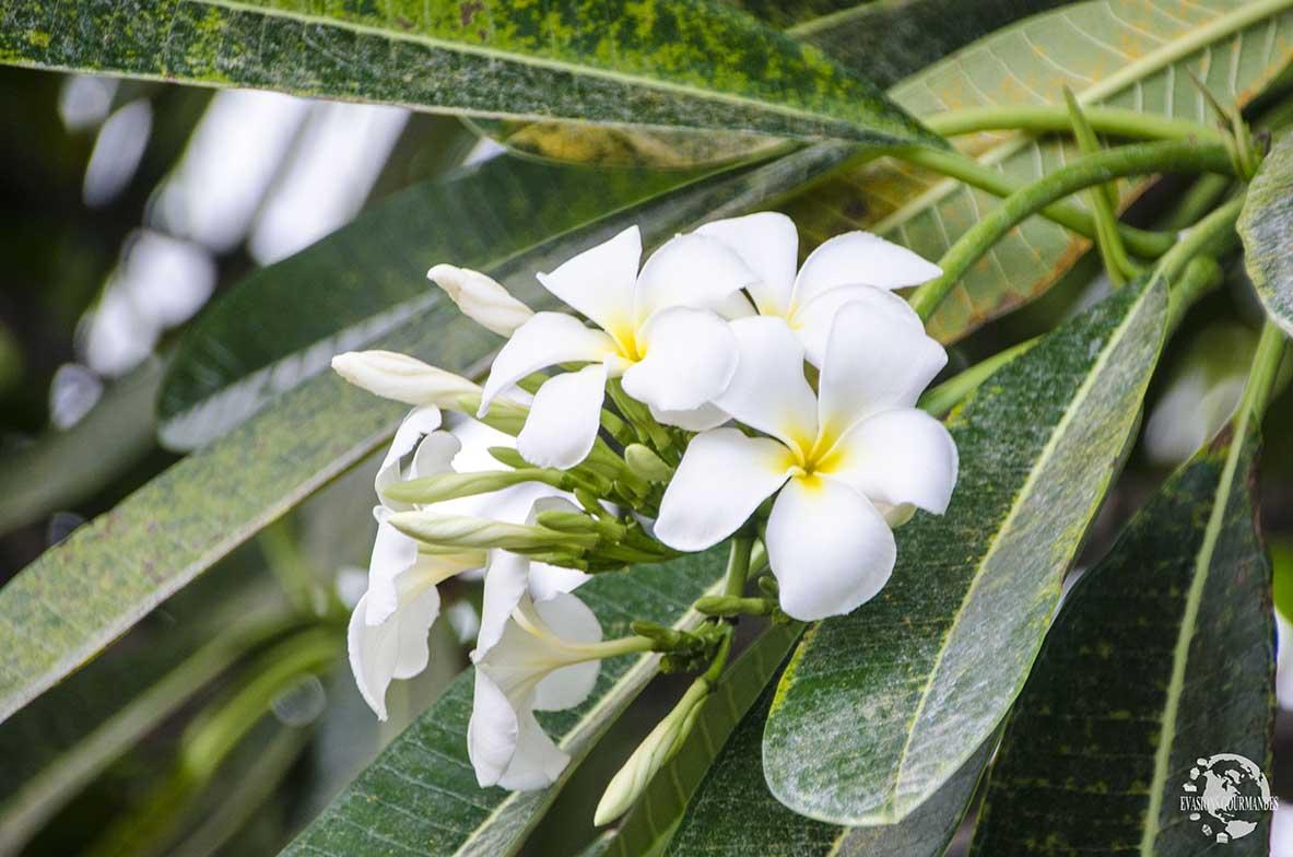 Fleur de frangipanier Tahiti