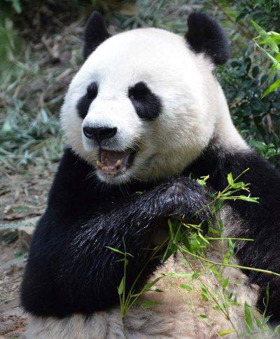 Panda Singapour